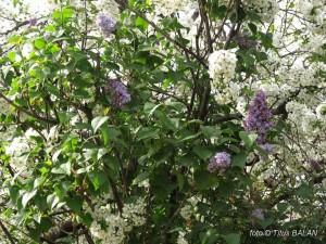 liliac alb violet 1