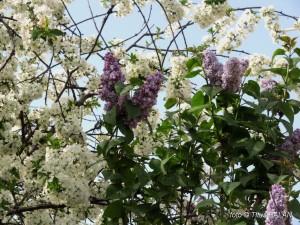 liliac alb violet 2