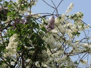 liliac alb violet 3
