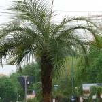 palmierii din timisoara.Still005