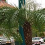 palmierii din timisoara.Still006