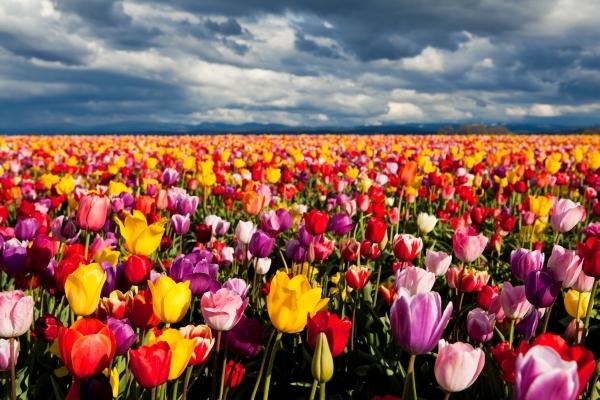 tulipani lalele