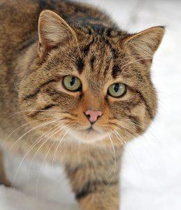 pisica-salbatica