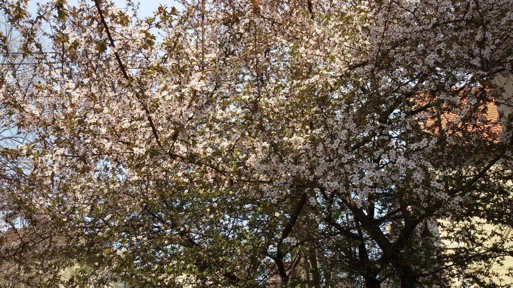 Copaci infloriti 2